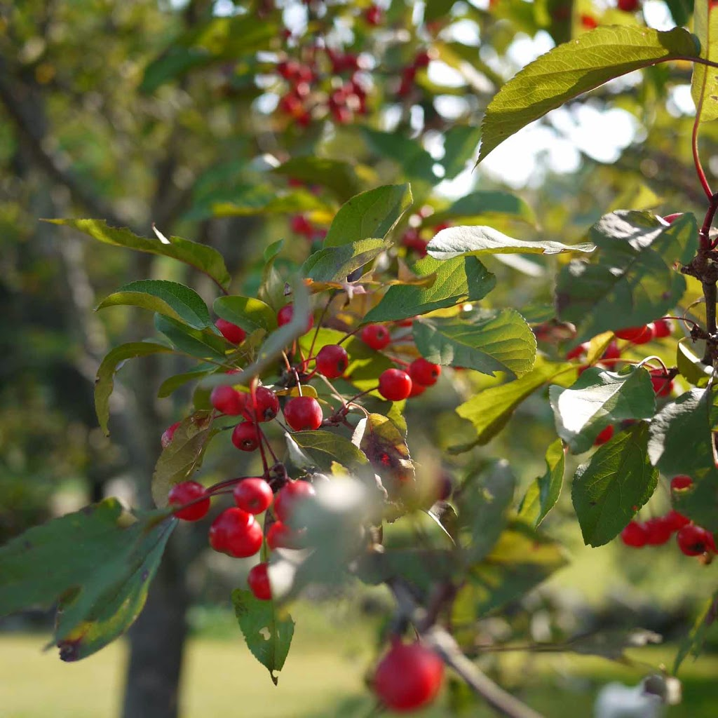 crab apple tree New England